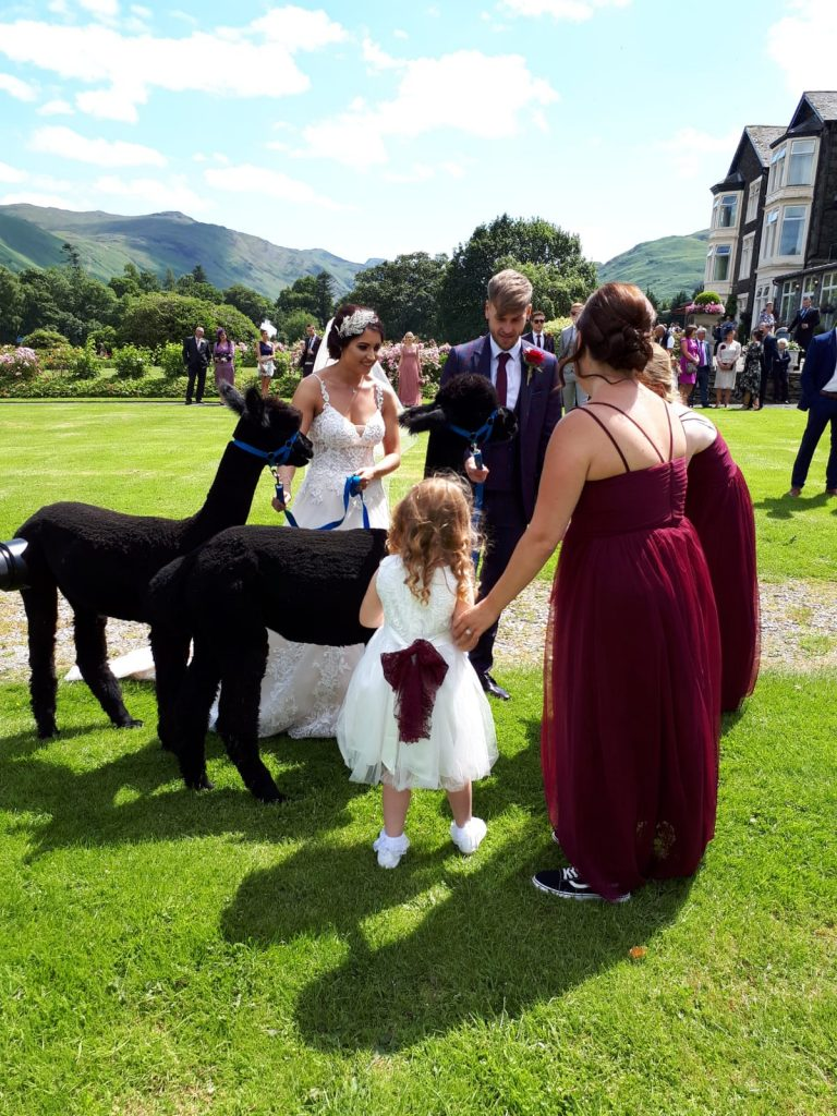 alpaca weddings and events